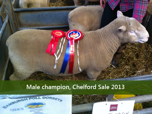 Male champion, Chelford Sale 2013